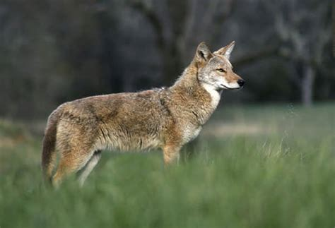 wolf  coyote