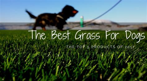 best grass for dogs finding the best grass for dogs the top 5 products of 2017 hi5dog