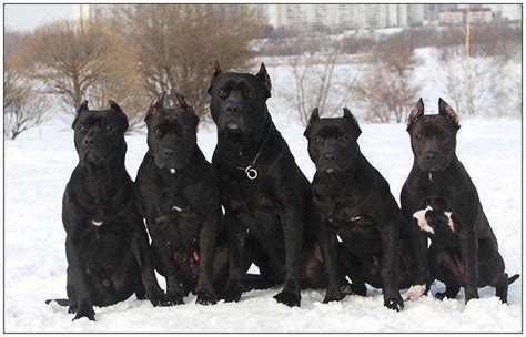 all black pitbull puppies all black pitbulls all black and black