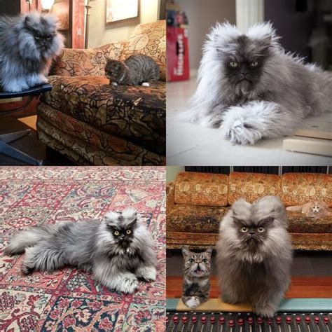 Colonel Meow Memes - colonel meow is dead
