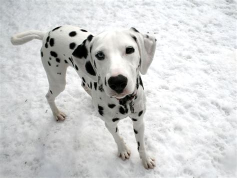 puppy dalmatian puppy dalmatian photo dogs wallpapers backgrounds