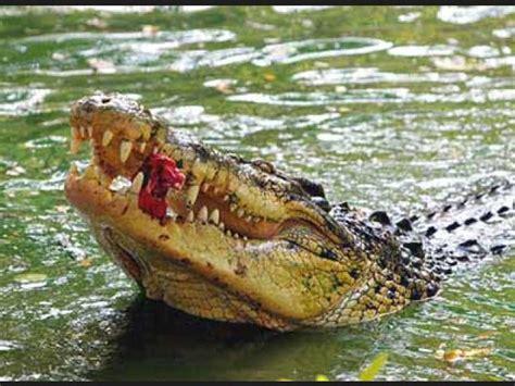 buscar imagenes sorprendentes ranking de cocodrilos quot animales sorprendentes quot listas