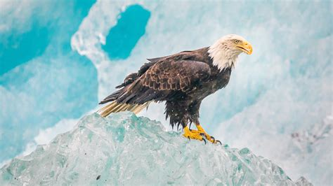 wallpaper 4k eagle wallpaper eagle iceberg alaska 4k animals 5952