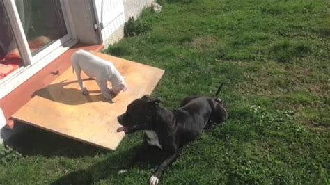 pitbull vs rottweiler who would win dogo argentino vs rottweiler who would win wroc awski informator internetowy wroc