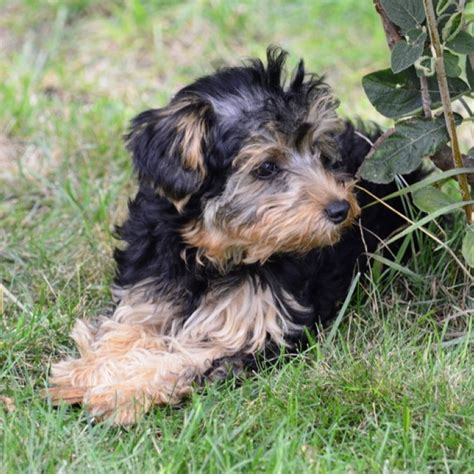 what is the lifespan of a yorkie poo breeds for loving souls out there