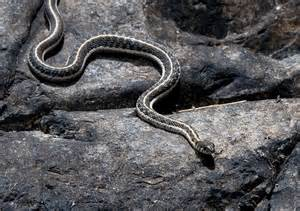 black necked garter snake flickr photo