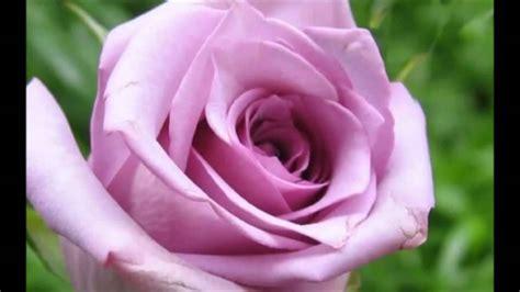 imagenes de rosas lindas gratis lindas rosas e s 193 bios prov 201 rbios youtube