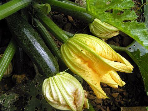 vegetables zucchini how to grow zucchini hgtv