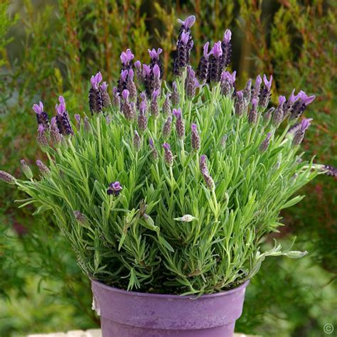 lavender stoechas 15cm pot 1 plant buy online order yours now