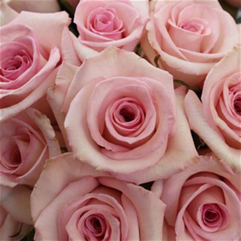 Light Pink Roshes by Katherine Light Pink