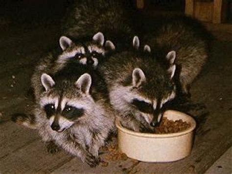 raccoon in backyard feeding wildlife bad idea worms germs blog