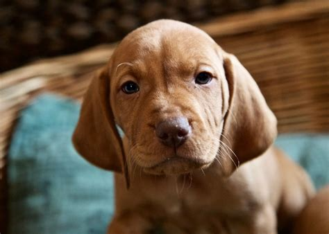 vizsla puppies for sale in michigan vizsla breed info breeds picture