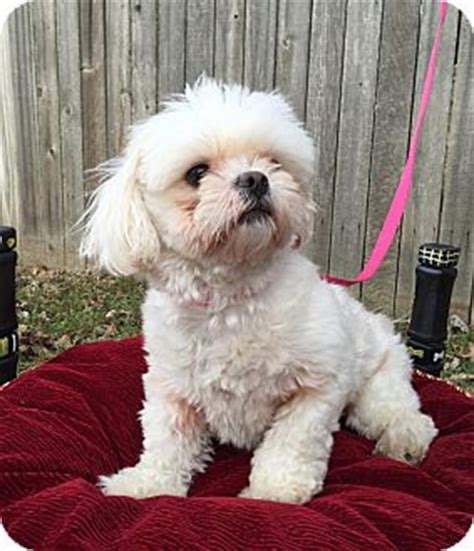 shih tzu rescue indiana shih tzu rescue indianapolis breeds picture