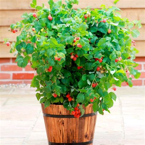 container gardening raspberries which fruit plants can we grow in pots ask nurserylive