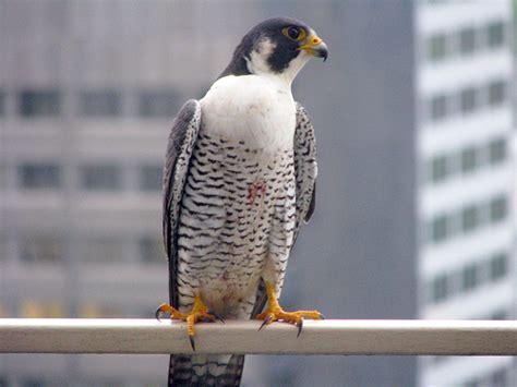 wild toronto birds of prey take a shine to midtown