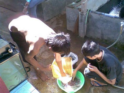 Bibit Lele Sangkuriang Subang budidaya dan pembibitan ikan patin pasopati