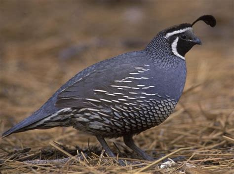 list of birds of california wikipedia