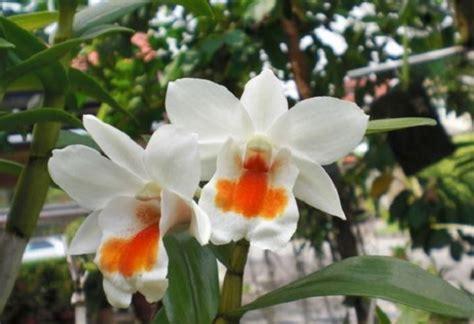 Tanaman Hias Anggrek Dendrobium Calophyllum Limited tanaman hias anggrek paling populer di indonesia bibitbunga