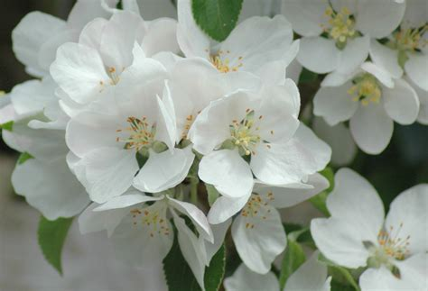apple blossom apple blossom pictures