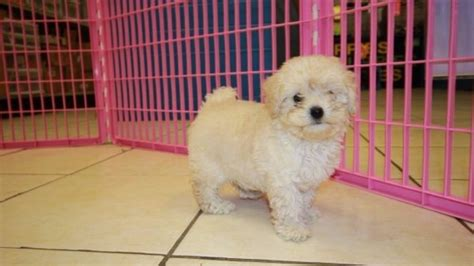 poodle puppies for sale in ga pretty bichon poo puppies for sale in atlanta ga bichon and poodle mix at