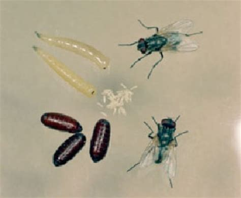 Cluster Flies In Kitchen by How To Get Rid Of Maggots Permanently