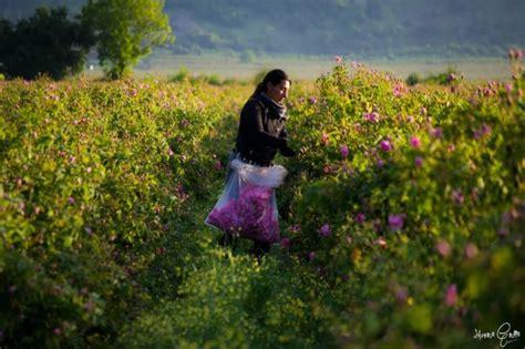 Pupuk Bunga Gaviota bunga mawar pesona si bunga beda warna beda makna