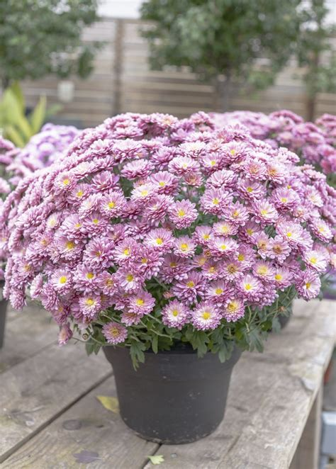 care of container grown mums tips for growing