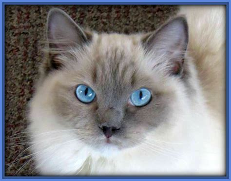 ragdoll cats for sale our ragdoll cats