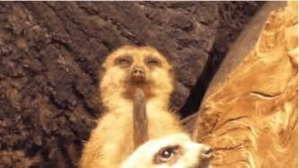 watch this meerkat fall asleep during his little meerkat