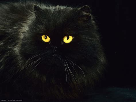 wallpaper cat night black persian female at night yellow eyes shining
