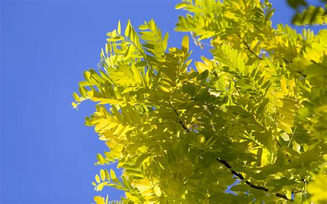 yellow tree wallpapers