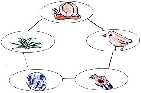 esempio di catena alimentare catena alimentare