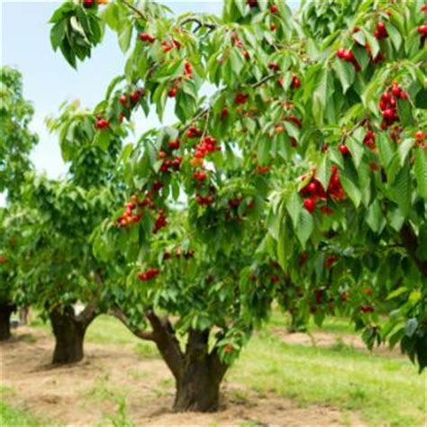 standard cherry trees for sale buy cherry trees from