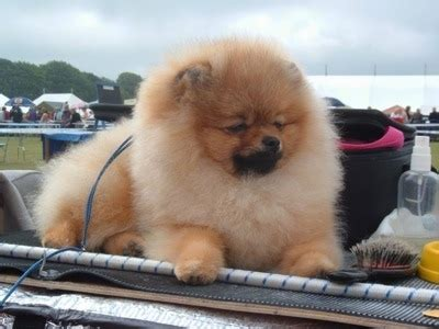 pommania pomeranians pomeranian breed information and pictures