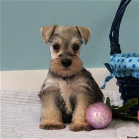 puppy finder nj miniature schnauzer puppies for sale in de md ny nj philly dc and baltimore