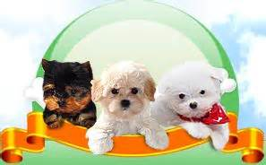 pomeranian puppies for sale in toledo ohio 25 best ideas about morkie puppies for sale on morkies for sale yorkie