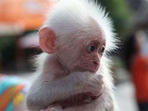 baby monkey wallpapers wallpaper cave