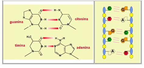 union de cadenas de adn la utilizacion de la prueba de acido desoxiribonucleico