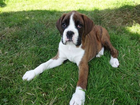 brindle boxer puppy sold brindle boxer puppy bobtail sold rugby warwickshire pets4homes