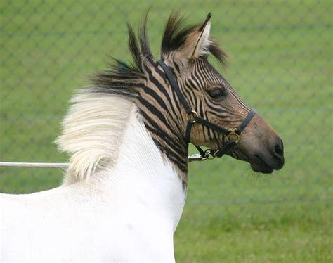 t pfern zu hause wenn das pferd mit dem zebra zu hause pferde und