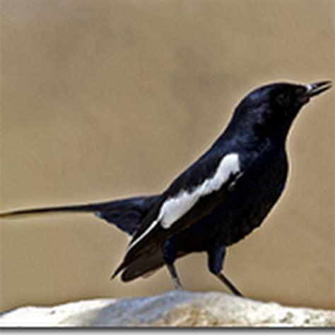 Ternak Cacing Nan sedikit tips memilih burung kacer info burung kicauan