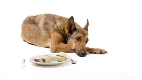 why do dogs always want food why won t my dog eat here s why dogs may refuse food