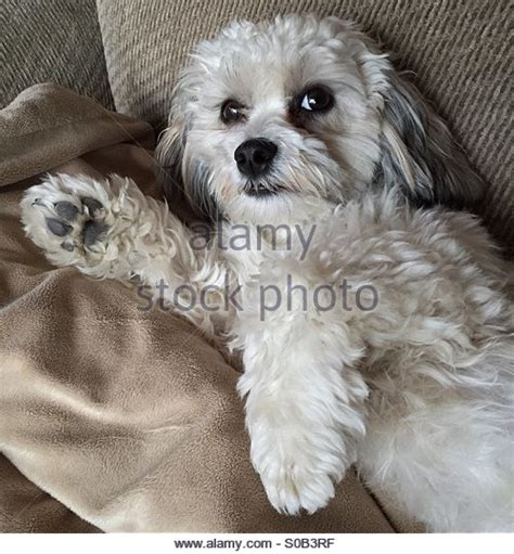 bichon and shih tzu mix bichon shih stock photos bichon shih stock images alamy