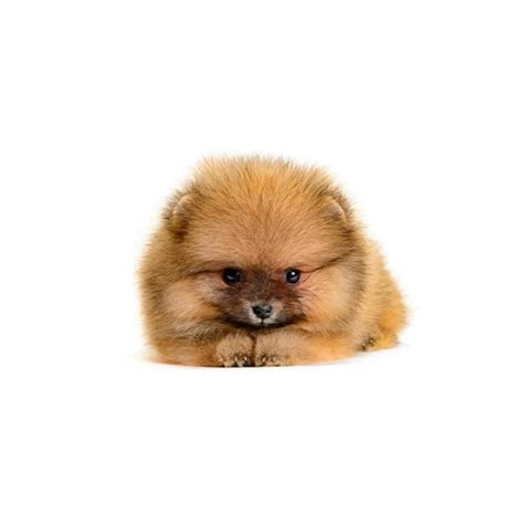 miniature pomeranian mini pomeranian www pixshark images galleries with a bite