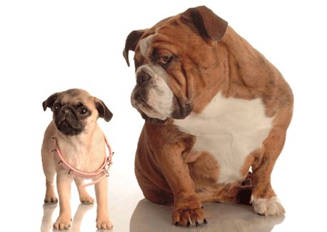 why do pugs their paws screen gif the the your monitor clean