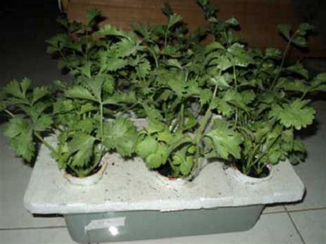 menanam hidroponik sistem nft cara menanam daun seledri hidroponik bibitbunga com