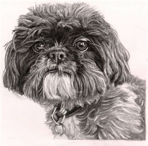 shih tzu drawing 1000 images about shih tzu on dogs and pets