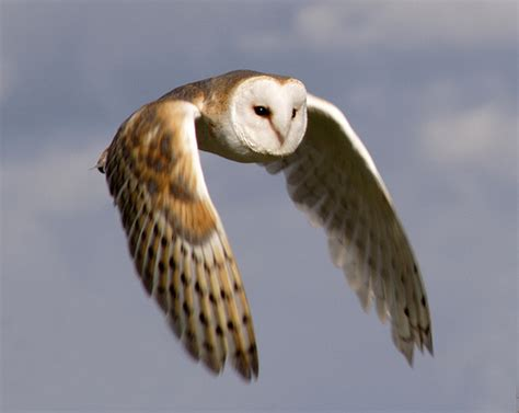 barn owl animal wildlife