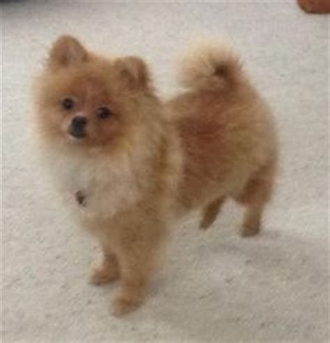 how to give a pomeranian a haircut 1000 images about pomeranian haircuts on pomeranian haircut pomeranians