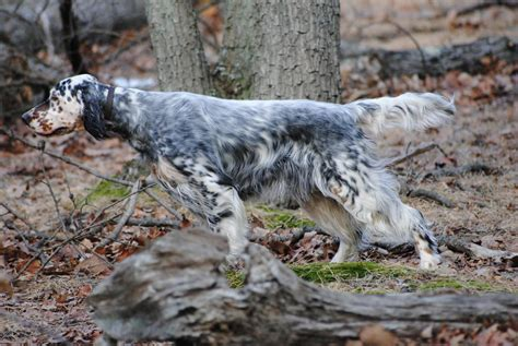 setter dog training english setter history training temperament american